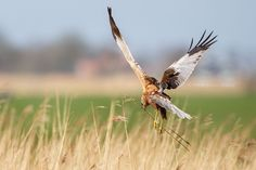 Western Marsh Harrier by Pim Leijen on 500px