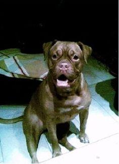 Beschreibung Dog Boxer.jpg