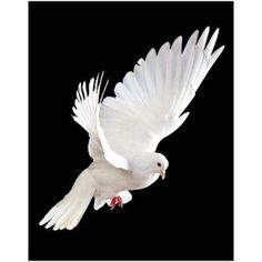 Dove in Flight Photography by Eazl, Size: 16 x 16, White