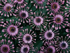 Osteospermum is valued for its abundance of daisy-like blooms. 'Serenity Lavender Bliss' has distinctive pinwheel flowers with spoon-shaped petals. Plant in full sun in well-drained soil. Attracts butterflies. Winter hardy to USDA Hardiness Zones 10 to 11(Plants That Bloom in Fall : Page 10 : Outdoors : Home & Garden Television)