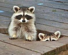 I actually find racoons adorable! most of the time.