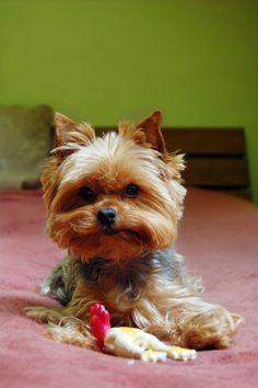 Litter Size of Yorkshire Terrier