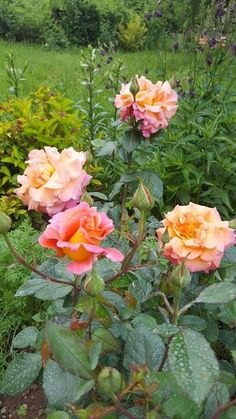 Freisinger Morgenröte Flower Garden, Flowers, Growing, Beautiful Roses, Wonderful Flowers, Rose Garden, Beautiful Backyards, Plants, Backyard
