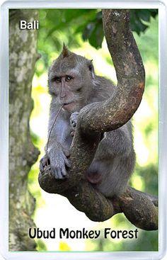 Acrylic Fridge Magnet: Indonesia. Monkey Forest. Ubud. Bali