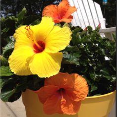 Orange & yellow hibiscus
