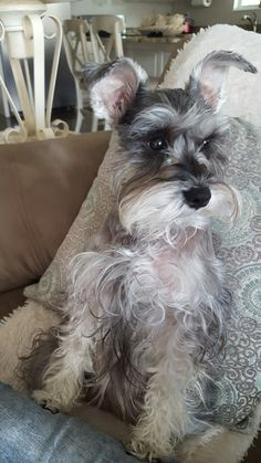Miss Tia ❤ Miniature Schnauzer Puppies, Schnauzer Dogs, Mini Schnauzer, I Love Dogs, Cute Dogs, Puppies And Kitties, Doggies, Dog Best Friend, Poor Dog