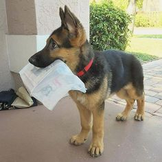 Facts On The Confident German Shepherd Dog Grooming German Shepherd Memes, German Shepherd Pictures, German Shepherd Puppies, Baby German Shepherds, Cute Funny Animals, Cute Baby Animals, Cute Puppies, Dogs And Puppies, Cute Creatures