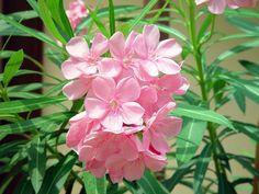 ยี่โถ (Oleander)