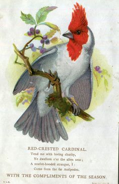 Victorian Christmas Card,Red -Crested Cardinal & Verse.Pub.DeLa Rue Series No.5.