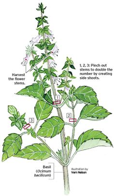 Pruning Basil. A visual.