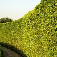 Natural fences made with trees are an attractive way to create a partition between properties. Trees also help to create borders around properties. A number of fast growing deciduous and evergreen trees are well suited for this purpose. While many homeowners choose large shrubs for creating a natural fence, fast growing, uniformly shaped evergreens...