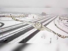 A traffiic camera in the western part of Montreal island caught a snowy owl flying on Sunday, Jan.3, 2016. Quebec Transport Minister Robert Poeti released images of the owl Thursday on Facebook.