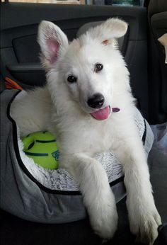 White German Shepherd puppy – Legacy – Owner Lori - 1