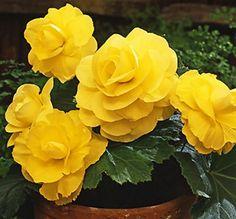 Begonia – Yellow – Roseform | Dahlia Barn