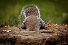 raindropsonroses-65: Monday morning… Squirrels of Oshawa, (for those who love them)