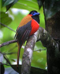 Red-naped Trogon Birds