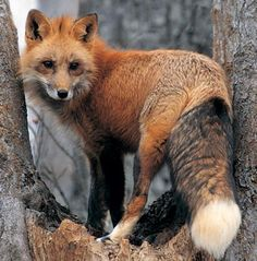 Look what is in my back yard. RED FOX SIGHTED IN NOVATO - Novato, CA Patch