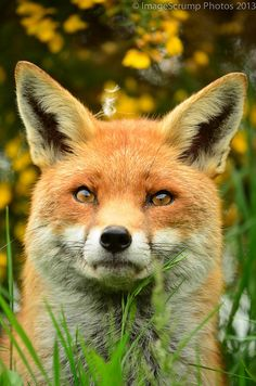 Red Fox by ImageScrump Photos - Mike Gibson