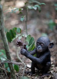 Baby bonobo-The bonobo, Pan paniscus, formerly called the pygmy chimpanzee and less often, the dwarf or gracile chimpanzee, is an endangered great ape and one of the two species ...