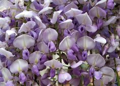 Wisteria is a great vine Wisteria Japan, Purple Wisteria, Bloom Blossom, Good Luck To You, Language Of Flowers, Delphinium, Colorful Garden, Exotic Flowers, Green And Purple