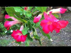Flower Scenery - Pink Desert Rose 094