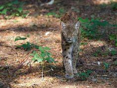 Lynx lynx - walking lynx in the forest