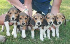 Sweet Little Beagle Puppies