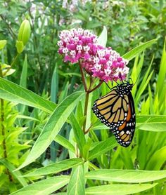 Butterfly Garden Milkweed Collection These types of plants actually grow nectar. Then some butter flies eat the nectar and make the flower a home. These plants take water and sunlight.