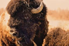 Portrait of a bison bull