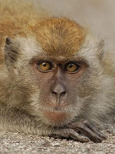 macaquepose2   by kwokwai76