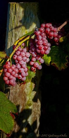 Grapes in the Vineyard by Mark Perry on Fivehundredpx