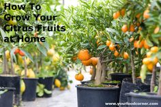 When you grow your citrus fruits at home you will be able to taste the real difference in freshness and quality compared to the ones from the grocery store.