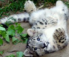 My favorite animal the Snow Leopard.