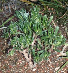 Crassula (Crassula ovata) : arrosage, entretien Crassula Ovata, Plante Crassula, Bonsai, Succulents, Nature, Plants, Gardens, Plant Care, Gardening Hacks