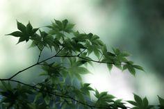 https://flic.kr/p/ttV3UW | Leaves of maple | Cool green leaves of maple