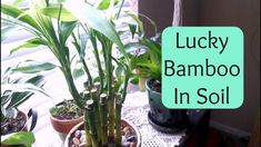 Lucky Bamboo repotting into soil (Care Tips) Giant Bamboo, Bamboo In Pots, Lucky Bamboo Plants, Bamboo Garden, Indoor Bamboo Plant, Bamboo Plant Care, Indoor Plants, Lucky Bamboo Care, Bamboo Stalks