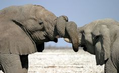 Great Limpopo Transfrontier Park ~ tangled elephants