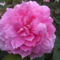 """""""The Mayflower"""" David Austin believes 'The Mayflower' represents an important breakthrough in English Roses. A small continually blooming shrub bearing charming, medium size typically old rose 3"""" flowers (petals 35+) of deep rose pink. It has a strong, old rose fragrance."""