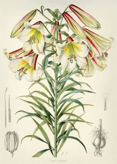 miss-mary-quite-contrary: Lilium centifolium 1933 by Lilian Snelling.