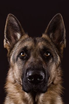 Duke, by Christian Merk. Gorgeous German shepherd.