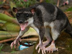 Water Opossum or Yapok with webbed back feet