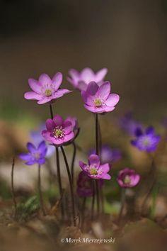 Common Hepatica Flowers