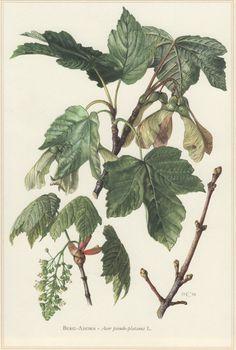 1960 Vintage Botanical Print Acer pseudoplatanus by Craftissimo