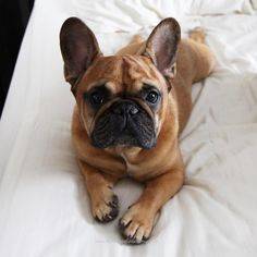 French Bulldog lying on the bed is a nice clear pose that would be great as  a dog portrait painting.