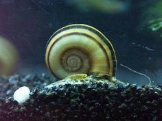 Banque d'images sur les escargots d'eau douce : Invertébrés d'eau douce