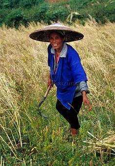 HARVEST    A Chinese farmer harvesting her paddy field. Photo taken in Guizhou,China.