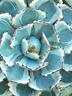 desert diamond agave - The Estate of Things