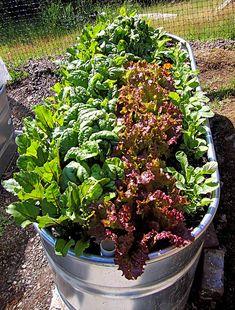 Salat in einer Zinkwanne