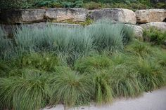 Schizachyrium scoparium 'Jazz', 7 Essential Ornamental Grasses, Thinking Outside the Boxwood