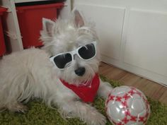 Lexie the Funny West Highland White, West Highland Terrier, White Terrier, Rainbow Bridge, Terrier Dogs, Westies, Beautiful Creatures, Cute Dogs, I Am Awesome